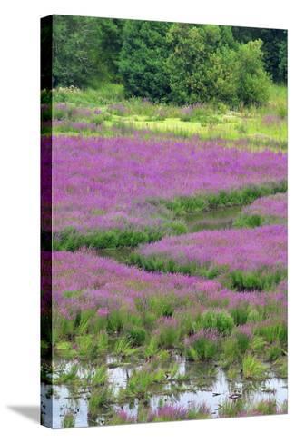 USA, Oregon, Oaks Bottom. Purple Loosestrife Flowers in Marsh-Jaynes Gallery-Stretched Canvas Print