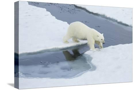 Greenland, Scoresby Sound, Polar Bear Jumps over Water to Reach Sea Ice-Aliscia Young-Stretched Canvas Print