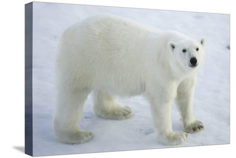 Greenland, Scoresby Sound, Polar Bear Standing on Sea Ice-Aliscia Young-Stretched Canvas Print
