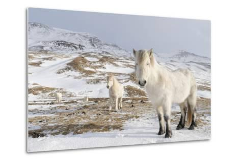 Icelandic Horse with Typical Winter Coat, Iceland-Martin Zwick-Metal Print