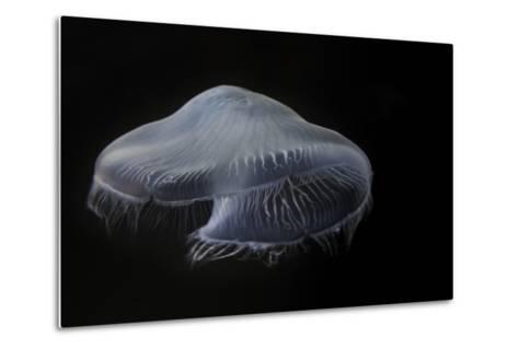 USA, Tennessee, Chattanooga. Moon Jellyfish in Aquarium-Jaynes Gallery-Metal Print