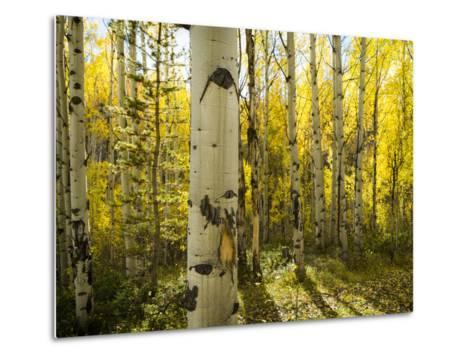 Golden Quaking Aspen in Full Fall Color, Kinney Creek, Colorado-Maresa Pryor-Metal Print