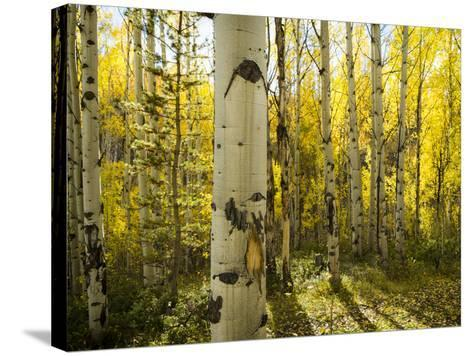 Golden Quaking Aspen in Full Fall Color, Kinney Creek, Colorado-Maresa Pryor-Stretched Canvas Print