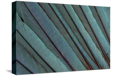 Kingfisher Wing Feathers-Darrell Gulin-Stretched Canvas Print