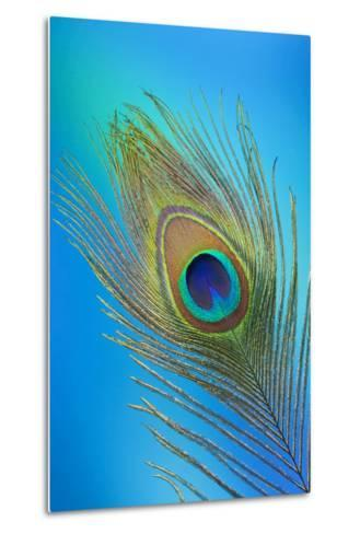 Single Male Peacock Tail Feather Against Colorful Background-Darrell Gulin-Metal Print