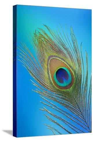 Single Male Peacock Tail Feather Against Colorful Background-Darrell Gulin-Stretched Canvas Print