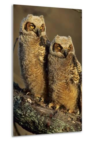 Great Horned Owls Approx. 6 Weeks Old, Illinois-Richard and Susan Day-Metal Print
