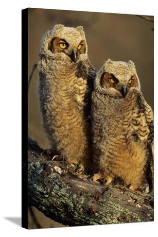 Great Horned Owls Approx. 6 Weeks Old, Illinois-Richard and Susan Day-Stretched Canvas Print