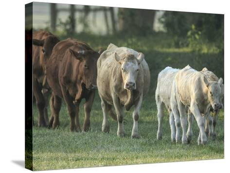 Mixed Cattle Coming for Water, Florida-Maresa Pryor-Stretched Canvas Print