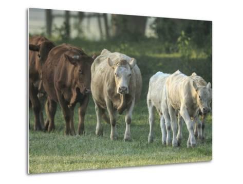 Mixed Cattle Coming for Water, Florida-Maresa Pryor-Metal Print