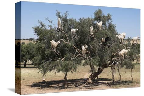 Morocco, Road to Essaouira, Goats Climbing in Argan Trees-Emily Wilson-Stretched Canvas Print