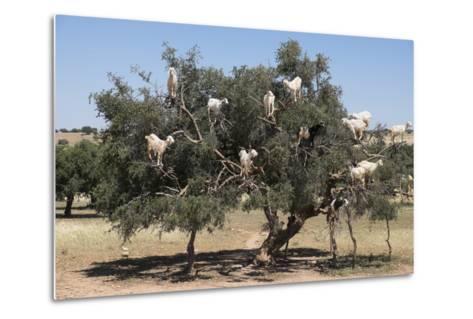 Morocco, Road to Essaouira, Goats Climbing in Argan Trees-Emily Wilson-Metal Print
