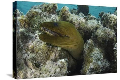 Green Moray, Lighthouse Reef, Atoll, Belize-Pete Oxford-Stretched Canvas Print