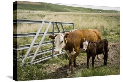 Palouse, Snake River Expedition, Pioneer Stock Farm, Cows at Pasture Gate-Alison Jones-Stretched Canvas Print