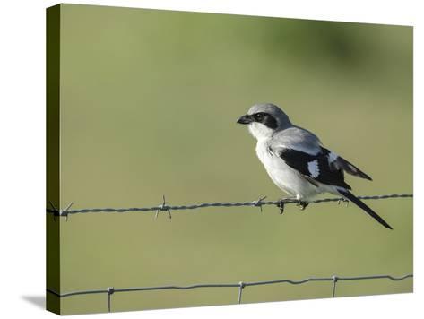 Loggerhead Shrike Adult Looking for Food,Celery Fields, Sarasota, Florida-Maresa Pryor-Stretched Canvas Print