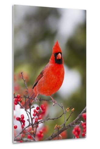 Northern Cardinal Male in Common Winterberry Bush in Winter, Marion County, Illinois-Richard and Susan Day-Metal Print