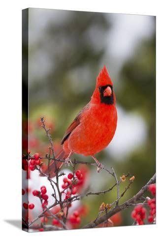 Northern Cardinal Male in Common Winterberry Bush in Winter, Marion County, Illinois-Richard and Susan Day-Stretched Canvas Print