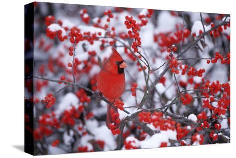 Northern Cardinal Male in Common Winterberry in Winter, Marion, Il-Richard and Susan Day-Stretched Canvas Print