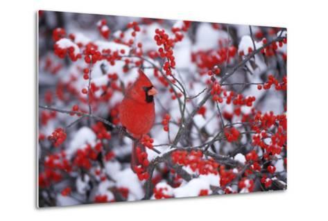 Northern Cardinal Male in Common Winterberry in Winter, Marion, Il-Richard and Susan Day-Metal Print