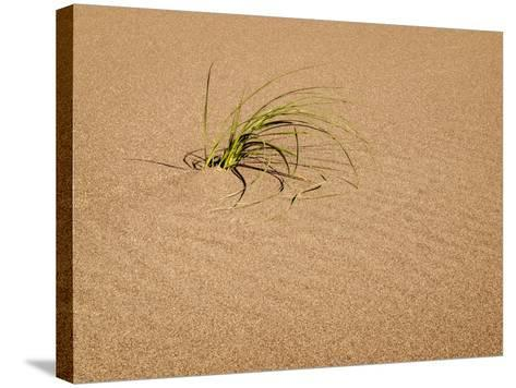 USA, Colorado, Great Sand Dunes National Park and Preserve. Blowout Grass Grows on a Dune-Ann Collins-Stretched Canvas Print