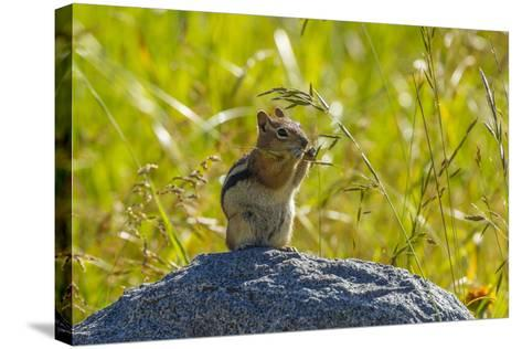 USA, Colorado, Gunnison National Forest. Golden-Mantled Ground Squirrel Eating Grass Seeds-Jaynes Gallery-Stretched Canvas Print