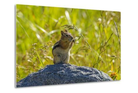 USA, Colorado, Gunnison National Forest. Golden-Mantled Ground Squirrel Eating Grass Seeds-Jaynes Gallery-Metal Print