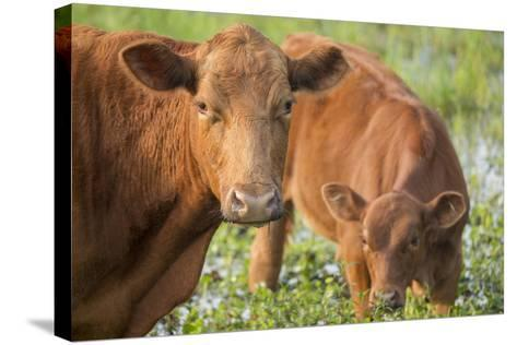 Red Angus Cow and Calf Drinking Water from Pond, Florida-Maresa Pryor-Stretched Canvas Print