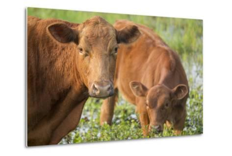 Red Angus Cow and Calf Drinking Water from Pond, Florida-Maresa Pryor-Metal Print