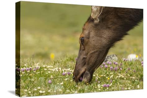 USA, Colorado, Rocky Mountain National Park. Elk Cow Eating Flowers-Jaynes Gallery-Stretched Canvas Print