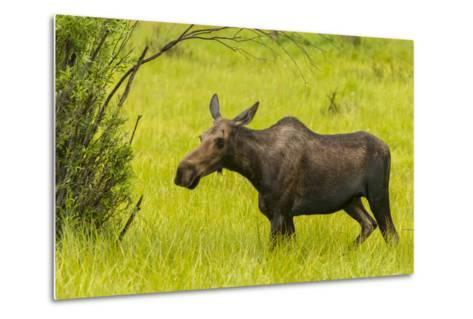 USA, Colorado, Rocky Mountain National Park, Moose Cow Standing in Grass-Jaynes Gallery-Metal Print