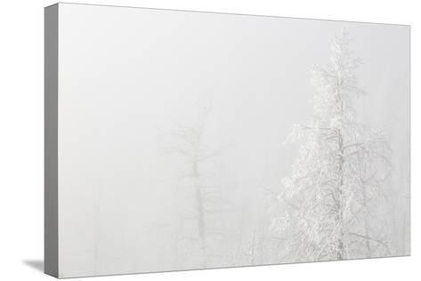 USA, Colorado, Pike National Forest. Trees with Hoarfrost in Fog-Jaynes Gallery-Stretched Canvas Print