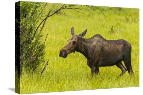USA, Colorado, Rocky Mountain National Park, Moose Cow Standing in Grass-Jaynes Gallery-Stretched Canvas Print