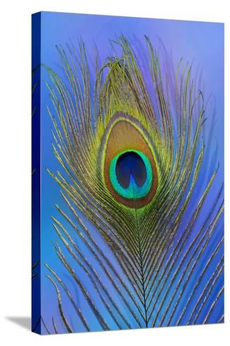 Male Peacock Display Tail Feathers-Darrell Gulin-Stretched Canvas Print