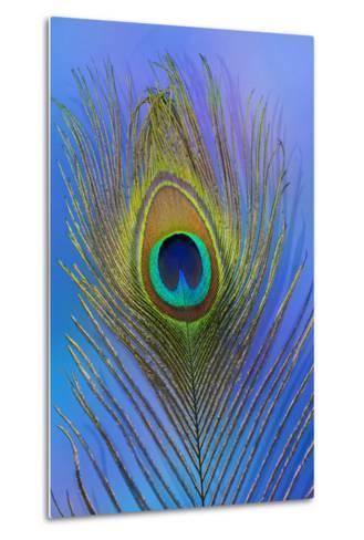 Male Peacock Display Tail Feathers-Darrell Gulin-Metal Print