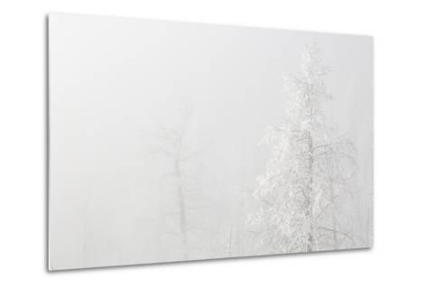 USA, Colorado, Pike National Forest. Trees with Hoarfrost in Fog-Jaynes Gallery-Metal Print