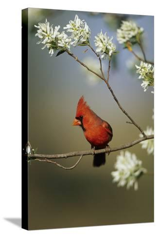 Northern Cardinal Male on Flowering Serviceberry Tree, Marion, Il-Richard and Susan Day-Stretched Canvas Print