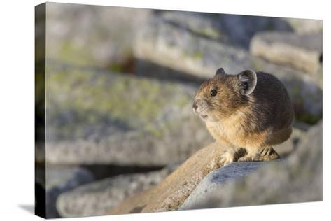 Pika, a Non-Hibernating Mammal Closely Related to Rabbits-Gary Luhm-Stretched Canvas Print
