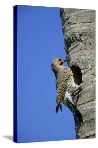 Northern Flicker Male at Nest Cavity, Florida-Richard and Susan Day-Stretched Canvas Print