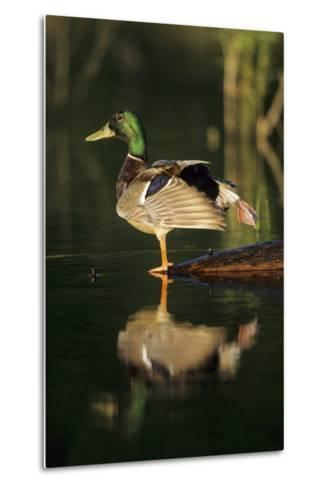 Mallard Male in Wetland Stretching His Legs, Marion County, Illinois-Richard and Susan Day-Metal Print