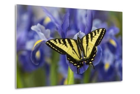 Male Western Tiger Swallowtail Butterfly-Darrell Gulin-Metal Print