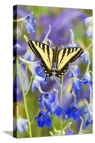 Male Western Tiger Swallowtail Butterfly-Darrell Gulin-Stretched Canvas Print