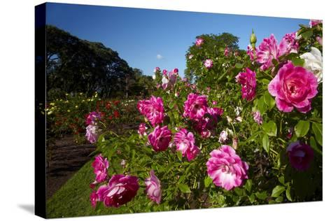 Pink Roses in a Garden, Parnell, Auckland, North Island, New Zealand-David Wall-Stretched Canvas Print