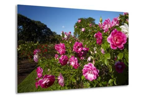 Pink Roses in a Garden, Parnell, Auckland, North Island, New Zealand-David Wall-Metal Print