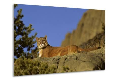 Mountain Lion, Montana-Richard and Susan Day-Metal Print