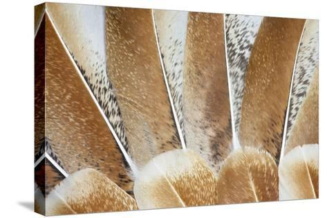 Turkey Wing Feathers Fanned Out-Darrell Gulin-Stretched Canvas Print