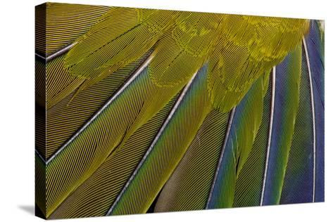 Jenday Conure-Darrell Gulin-Stretched Canvas Print