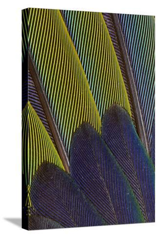 Jenday Conure Wing Feather Detail-Darrell Gulin-Stretched Canvas Print