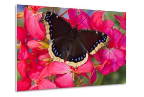 Mourning Cloak Butterfly-Darrell Gulin-Metal Print