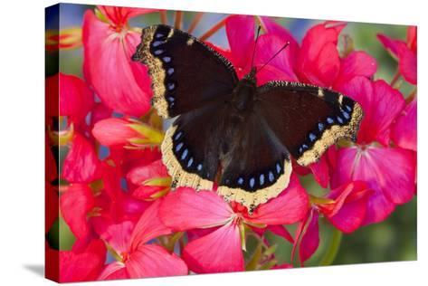 Mourning Cloak Butterfly-Darrell Gulin-Stretched Canvas Print
