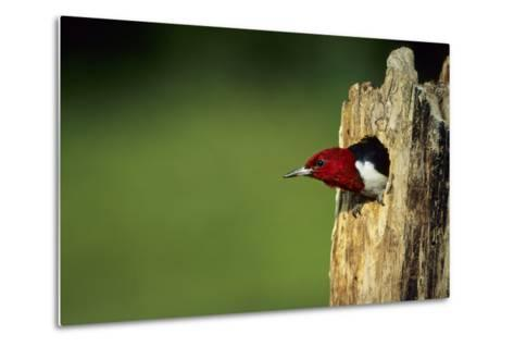 Red-Headed Woodpecker in Nest Cavity, Illinois-Richard and Susan Day-Metal Print